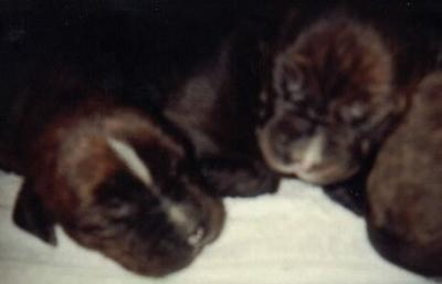 Chocolate Pups