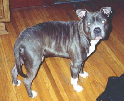 Blue Brindle pitbull