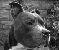 A D B A Reclassification of American Bully